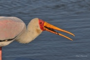 You will see plenty of Yellow-billed Storks along the Chobe River but you don't often see them catching fish.
