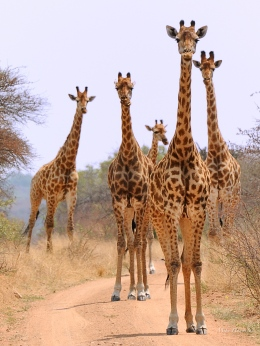 There are quite a few Giraffe in Borokolalo. We came slowly around a corner to be greeted by these five Giraffe.