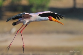 Yellow-billed Stork landing along the Chobe River.