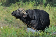 This Buffalo bull was enjoying eating water lily stems along the Chobe River's edge.