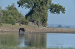 A lone Sable bull came down to the Chobe River to drink. He seemed unfazed by possible crocs in the water.
