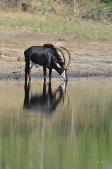 Beautiful reflection of the same Sable bull.