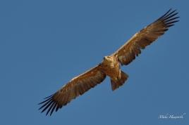 Tawny Eagle flies overhead along the Chobe River.