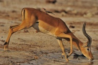 This Impala ram was very weary of crocodiles when drinking from the banks of the Chobe River.