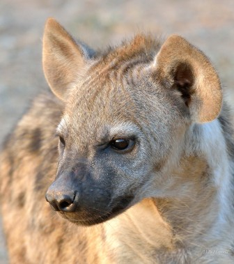 A close up of a Hyaena pup which is a couple of months old.