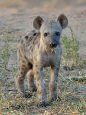 Hyaena are very cute at this age.