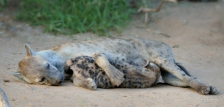 A young female Hyaena lying quietly allowing her reasonably big pup to suckle. They were lying outside their den near the Limpopo river in Mashatu.