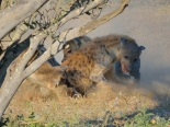 There were about eight Hyaenas feeding on a giraffe, which died of old age in Mashatu. When Hyaenas feed, all is quiet for a while and then all hell breaks loose and one feeder is punished.