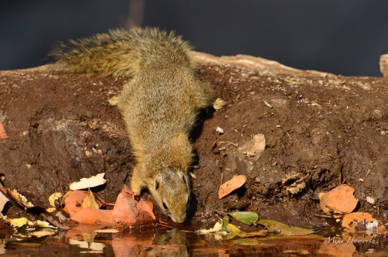 Tree Squirrel drinking from this small waterhole in Mashatu with some brightly coloured Mopani leaves to add some zing to the decor.