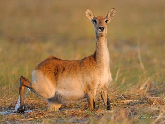 This female Lechwe was looking intently at us from the water soaked island in the Chobe River.