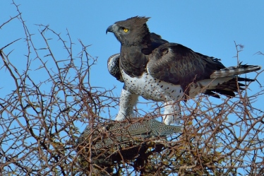 This Martial Eagle killed a Guineafowl on the ground and hoisted it on top of this thorn tree to eat in peace. It started plucking out the Guineafowl's feathers but all the while was looking all around and above to spot potential thieves.