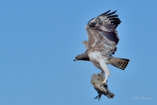 Martial Eagle in flight with the Guineafowl it had killed about a half an hour before.