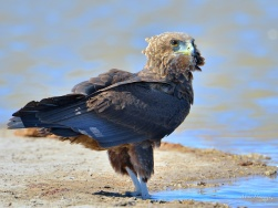 Juvenile Bateleur about to bathe in a waterhole in Etosha.