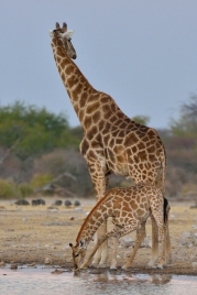 Female Giraffe and her calf at Klein Namutoni waterhole