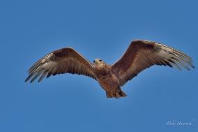 Young Bateleur in flight in Etosha.