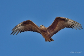 Young Bateleur in flight in Etosha.