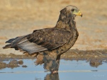 Juvenile Bateleur cooling his feet in the water at a waterhole in Etosha.