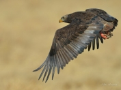Juvenile bateleur flying in for a drink at a water hole in Etosha.