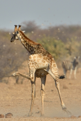 This young female Giraffe was running away from a waterhole in Etosha and just fooling around by the look of it.