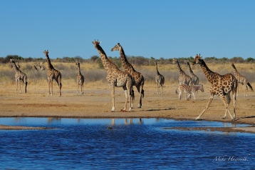 A wonderful scene in Etosha - a gathering of Giraffe.