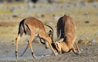 The two young Impala rams were sparing. It got progressively more serious but fortunately neither participant was hurt.