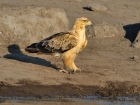 This proud looking Tawny Eagle landed away from the water and strutted down for a drink - not fussed about anything.