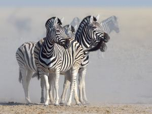 Watchful Zebra waiting patiently for their chance to drink at Andoni waterhole in Etosha