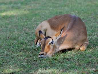 This female Impala is relaxing on a lawn at Pretoriuskop camp in Kruger Park.