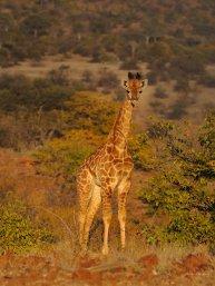 Giraffe camouflage in Mashatu