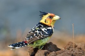 Crested Barbet drinking from a small water pond in Mashatu along side Eagle's Nest Lodge