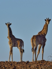 Two young Giraffe silhouetted on a stony ridge in Mashatu