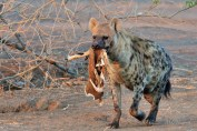 Female Hyaena taking some left overs back to her den in Mashatu Game Reserve.