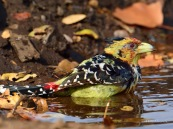 Crested Barbet bathing in a small pond of water round midday in winter in Mashatu