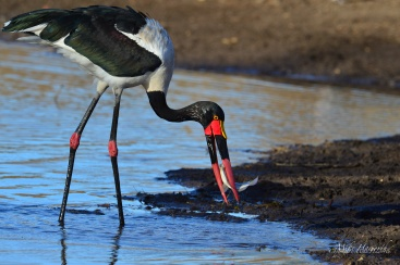 Female Saddle-billed Stork catching fish in a rapidly shrinking pool of water in the Mashatu Game Reserve.