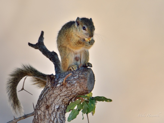 This Tree Squirrel found a seed pod to eat. A perfect spot to survey his domain in Mashatu Game Reserve.