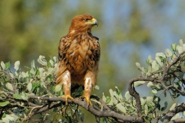 This young Tawny Eagle was just scouring the area along a river in Mashatu Game Reserve.