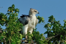 Juvenile Martial Eagle perched in a well leafed tree in Mashatu Game Reserve.