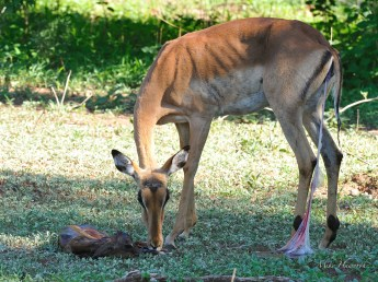 We arrived seconds after the birth of this calf. Immediately the doe started cleaning the calf before eating the after birth to remove the smell and attraction for predators.
