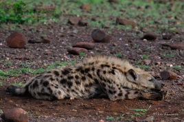 Busy night, warm sun so time to chill. This young male Hyaena seems to be relaxing all on his own.