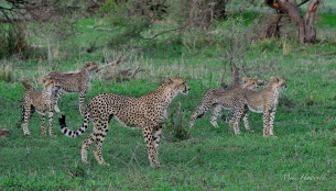 This Cheetah Mum has done well to rear to five cubs to ther current age - a huge job trying to keep them well fed.