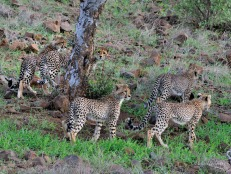 These Cheetah cubs were being led up to the top of a hill where their mother could look out for potential prey in Mashatu.