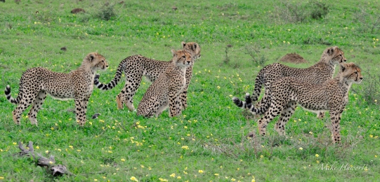 A big family - five Cheetah cubs in Mashatu.