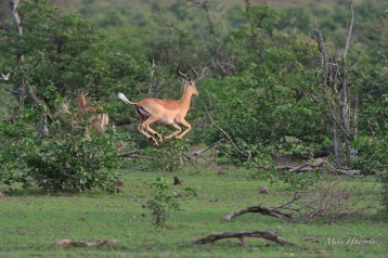 It is incredible to see these Impala pronking and showing their strength and vigour. This ram looked to be flying.