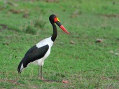 Like most Storks, the Saddle-bill kneels down to rest by bending its knee forwards not backwards like us. Those knees are thickened and are a pinky-red which makes them look sore.