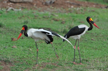 We disturbed this pair of Saddle-billed Storks and after getting up off their knees a good stretch was in order.