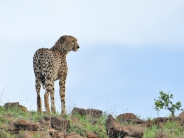 This Cheetah female was the first on top of Cheetah Kopjie in Mashatu.