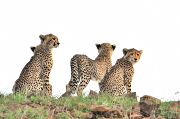 Four of five Cheetah cubs on top of a hill with their mother looking down on the open plains below for a potential meal in Mashatu.