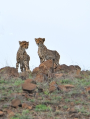 Silhouette of two Cheetah cubs as they came over a hill in Mashatu.