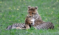 These Cheetah cubs were affectionate and playful with each other in Mashatu.