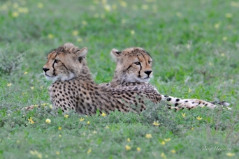 Comfortable together - two Cheetah cubs in Mashatu.